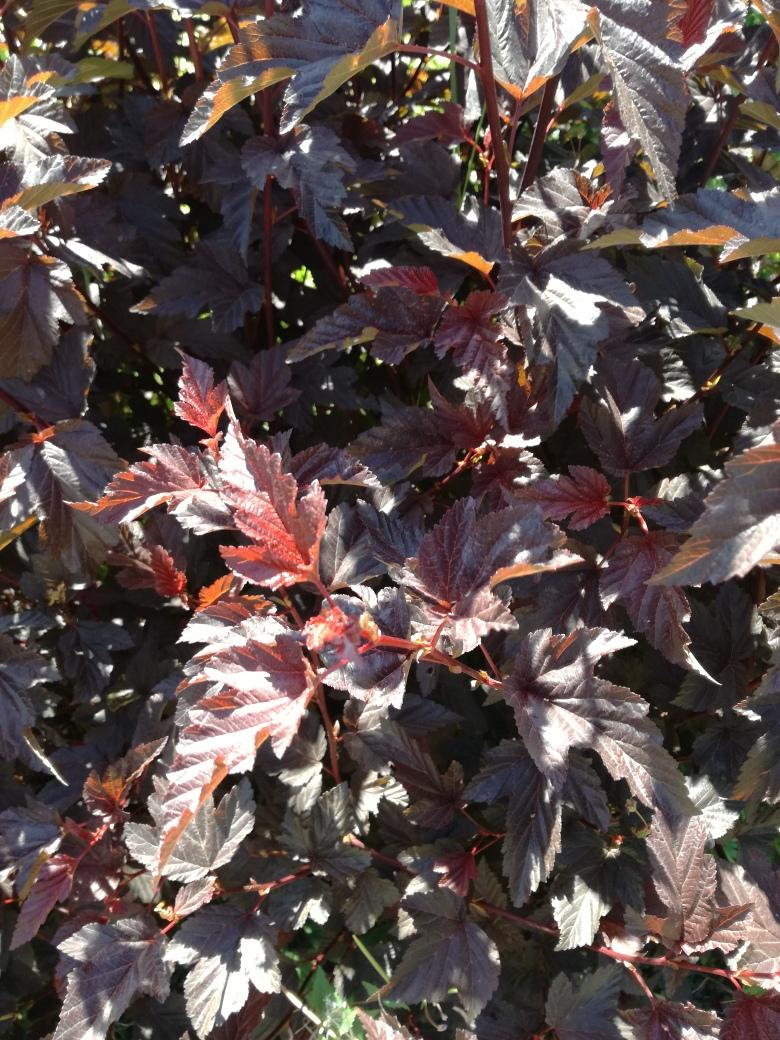physocarpus.jpg