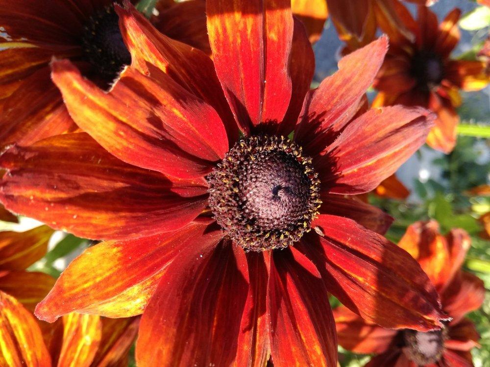 rudbeckia summertina orange.jpg