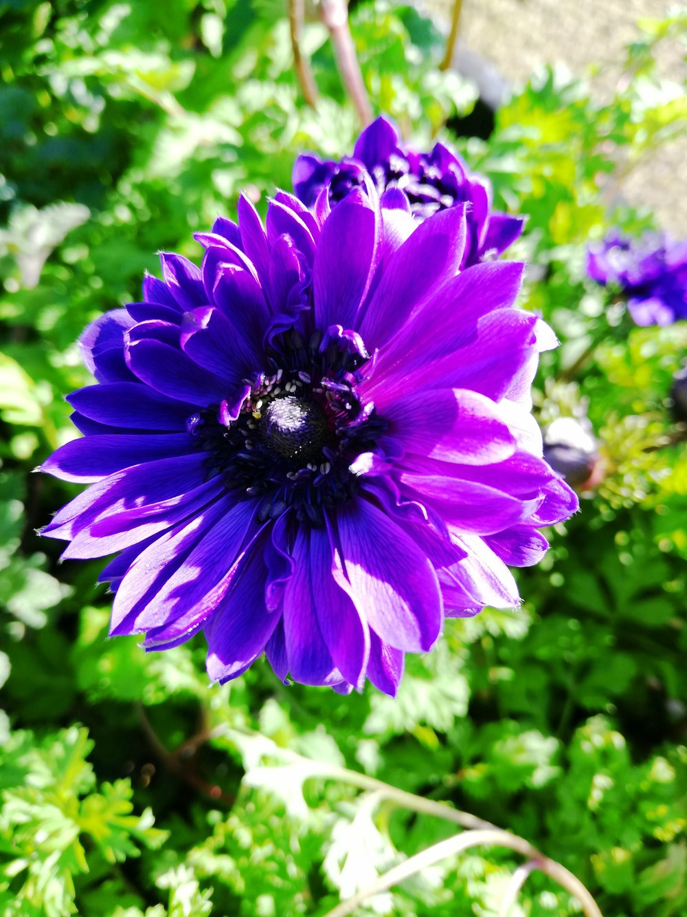 ANEMONE DE CAEN - A SUN LOVER, ATTRACTIVE TO BUTTERFLIES, EASY TO GROW IN WELL DRAINED SANDY SOIL.