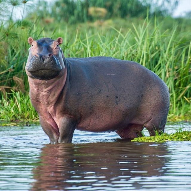 Despite their enormous size 🦛 hippos are great swimmers and can hold their breath for up to 5 minutes underwater. When completely submerged, their ears and nostrils fold shut to keep water out.  After a long day of driving and shooting 🎥 the @somethingventured_sv team arrived at Baker's Lodge on the banks of the Nile River. Hippos are mainly active at night so we got to fall asleep, in our tents right by the waters edge listening to the grunting and chomping sounds of the 2nd largest land animal on earth 🌍  #hippo #murchinsonfalls #somethingventured