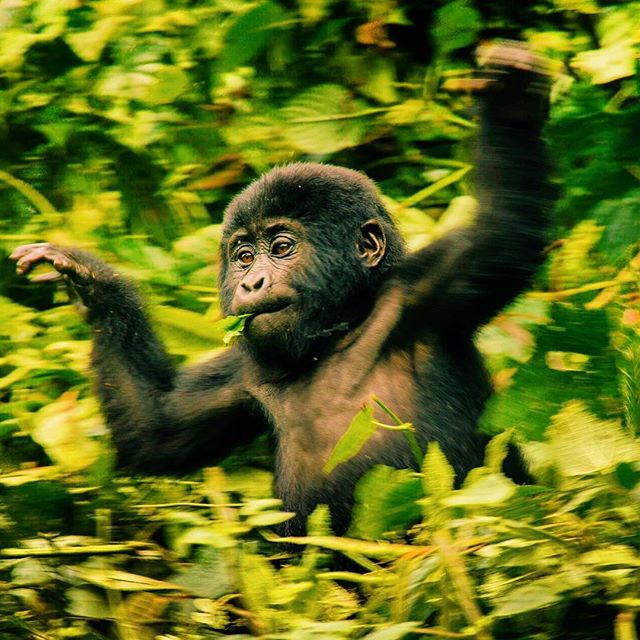 Everyone running into the weekend like this little guy 😊 Seeing the gorillas is truly a unique, humbling experience 🦍 If it's on your bucket list get in touch with local tour and travel company @spekeugandaholidays to curate your perfect Ugandan adventure 🇺🇬. 📸 @stew_game  #somethingventured #mgahingagorillanationalpark #gorilla