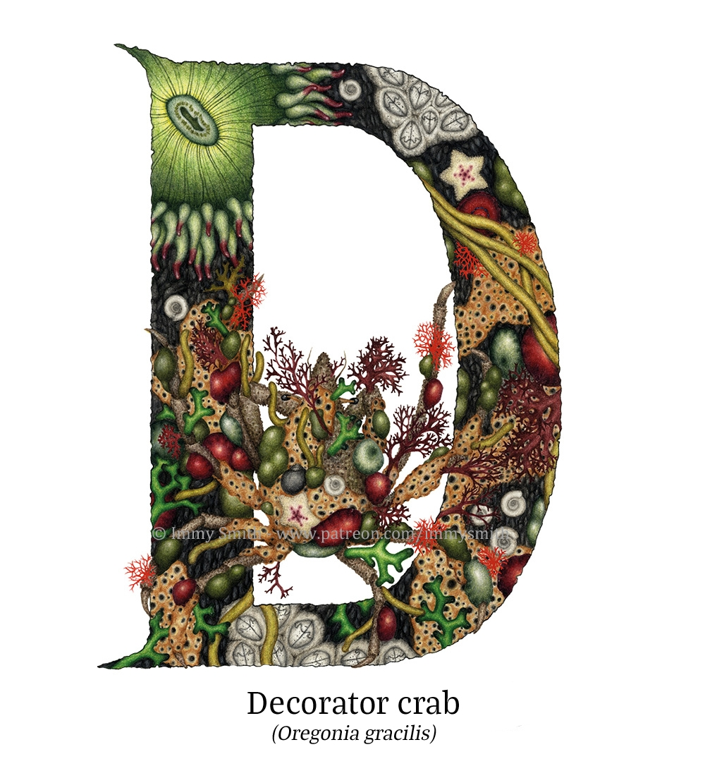 .A colour pencil drawing of an uppercase letter D. There is a decorator crab, covered with anemones and bits of seaweed, in the hole in the letter. The letter itself is illuminated, filled with rack patterns, and tidepool creatures and plants; red, green, and brown seaweeds, green aggregating anemones with purple tentacle tips, red beadlet anemones, orange breadcrumb sponges, and barnacles.
