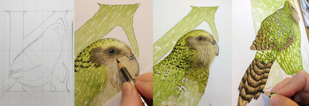 Four photos showing production of a colour pencil drawing of a Kākāpō (a rare species of parrot), from graphite sketch to coloured piece, in greens & brown. The bird is in front of a capital letter K. The art is for a series called 'Cryptic Alphabet'; letters illuminated with cryptic colouration & patterns from animals/plants with names beginning with each letter, that use camouflage to avoid detection.