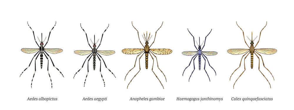 A set of illustrations depicting medically significant mosquito species for Scientific American