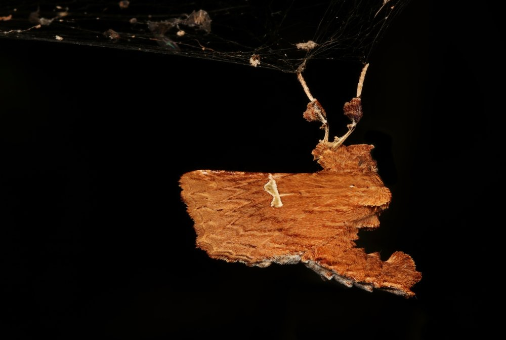 A moth mimicking dead leaves or bark