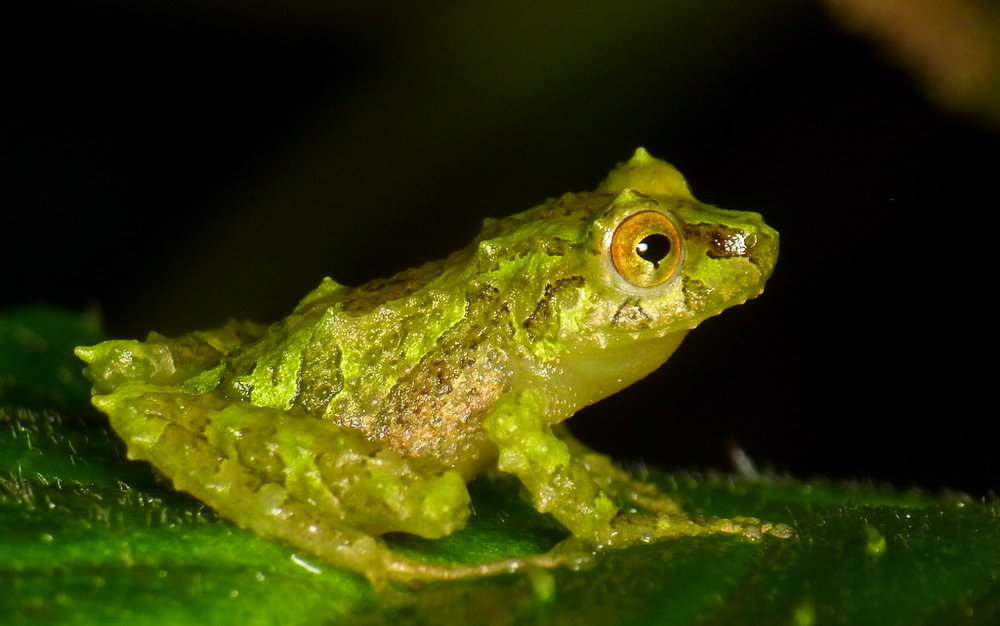 A blue-thighed rainfrog, image courtesy of  Andeas Kay