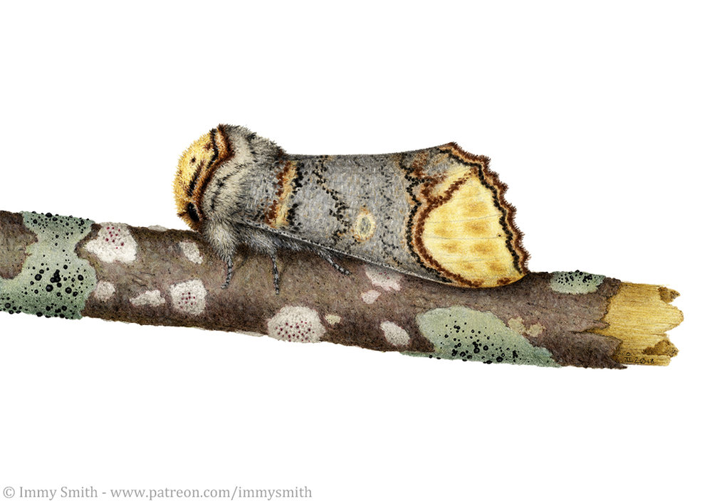 Image description; a drawing of a buff tip moth on a birch twig