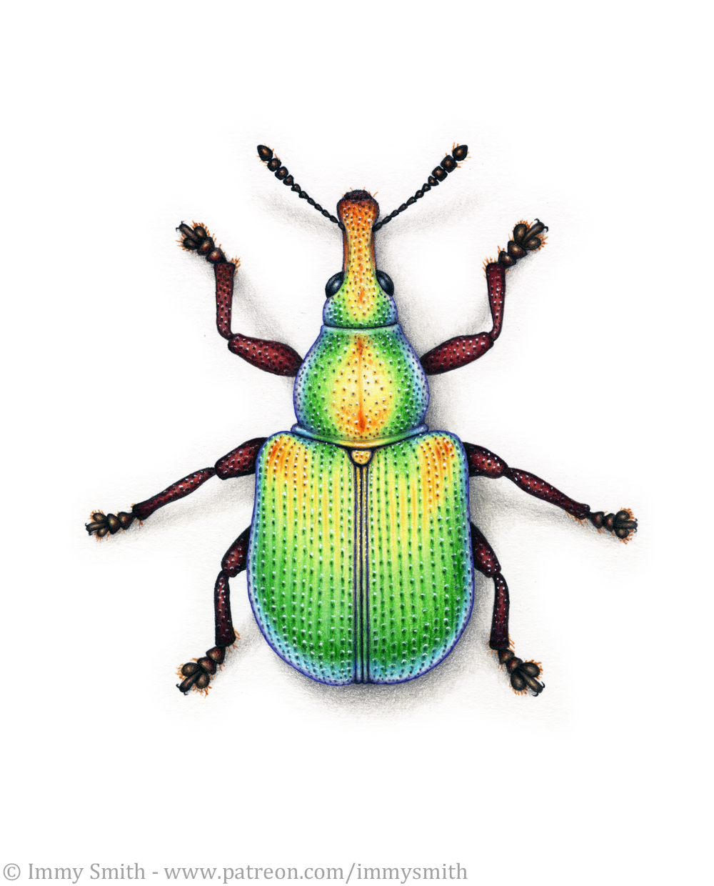 Image description; a colour pencil drawing of a rainbow vine weevil
