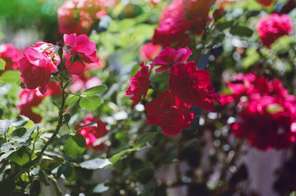 flowers-film-kodak-photography-revlog
