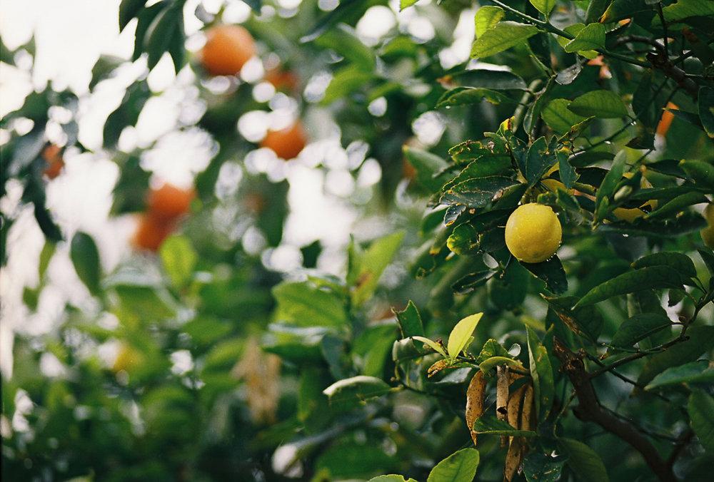 hybridfruittree