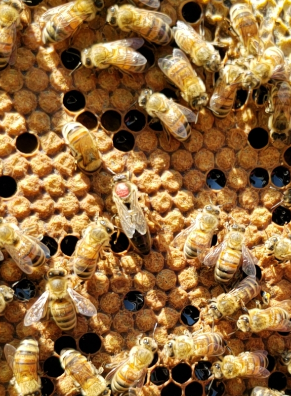 Signs of a healthy hive: The Brood -  There are several signs of a healthy hive.  The first sign of a healthy hive is that it has smooth capped brood.  Smooth capped brood indicates that the the queen is laying fertile (female) eggs, and they are being capped by workers approximately 6 days after the queen laid her eggs.  Smooth capped brood is uniform in appearance, and surrounding brood should also be capped, unless the brood is emerging, which can cause a scattered appearance.  Worker brood will emerge at 21 days. With a healthy, mated queen, you should constantly see capped brood in the hive.  If the brood is raised, or bumpy in appearance, it is infertile (male) brood, which will produce drones.  Some drone brood in a hive is normal, but an abundance of drone brood can be a sign that something is wrong. An absence of larvae and smooth capped brood is a sign something is amiss.  Also, there may be symptoms of illness within the hive that can be spotted through the careful inspection of the brood.