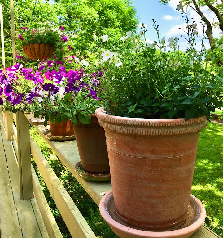 5.15.2018 Afternoon petunias.jpg