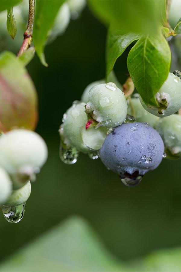 Blueberries-600.jpg