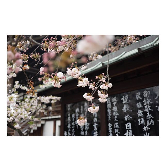 Cherry blossoms are a symbolic flower of renewal and the fleeting nature of life. Their short life and beauty peaks for two weeks.  Then the blossoms start to fall. @shopsouvenir ⠀ .⠀ .⠀ .⠀ #blossoms #cherryblossoms #travel #japan #travelstyle #japanese #fashionandtravel #cherry #pink #floral #plants #shopsouvenir #escapetosouvenir #blooms #blooming #hawaii #resort #resortwear #beachwear #beachstyle #swimwear #bikinistyle #vacation #travelinspiration #inspo #designinspiration