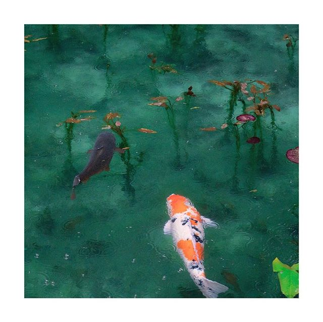 In Japanese culture, the koi carp is a symbol of luck, prosperity and good fortune.  Their imperfect and colorful patterns have made great inspiration for collections of royal artworks.  @shopsouvenir⠀ .⠀ .⠀ .⠀ #goodluck #cultures #escapetosouvenir #prosperity #inspiration #royalart #artinspiration #travelinspo #happiness #joy #holidaytravel #japaneseculture #asianculture #swim #swimwear #orange #coral #naturedesign  #luxuryresort #beachwear #koi #koifish #koipond