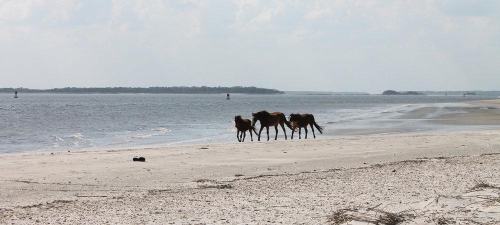 boat-tours-of-cumberland-island-wild-horses.jpg