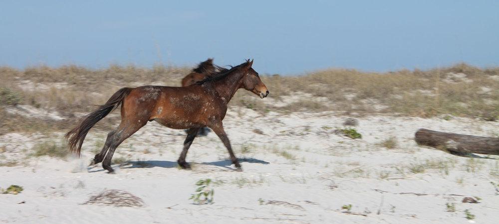 boat-tours-of-cumberland-island-wild-horses3.jpg