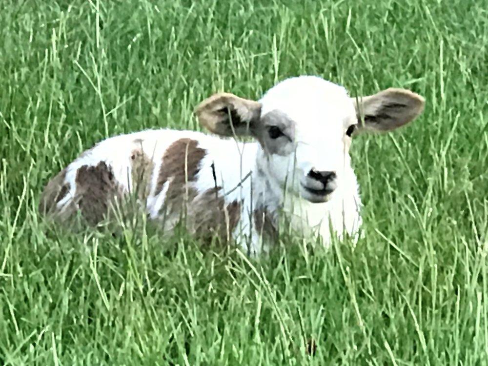 sheep lawn.jpg
