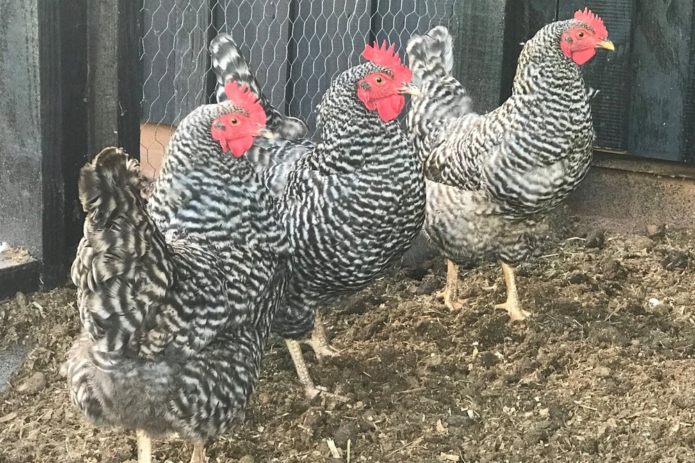 The Chicken Flock - We have 6 Barred Rock laying hens. We selected this breed for their very gentle temperament, beautiful feather pattern and outstanding egg production. We just love our girls!