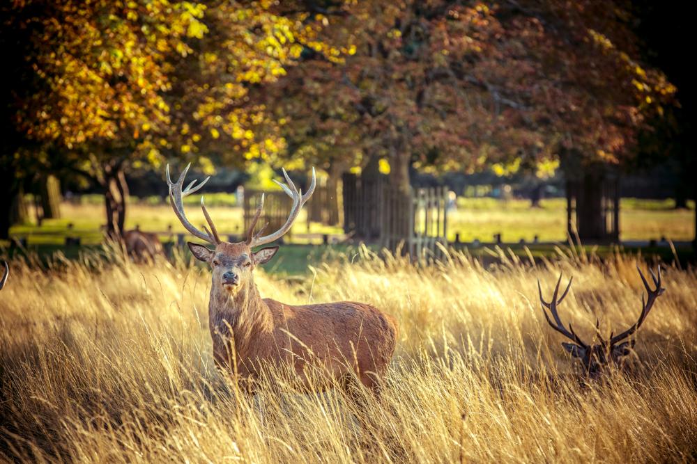 Golden Stag in Bushy Park by Cristina Schek (4).jpg