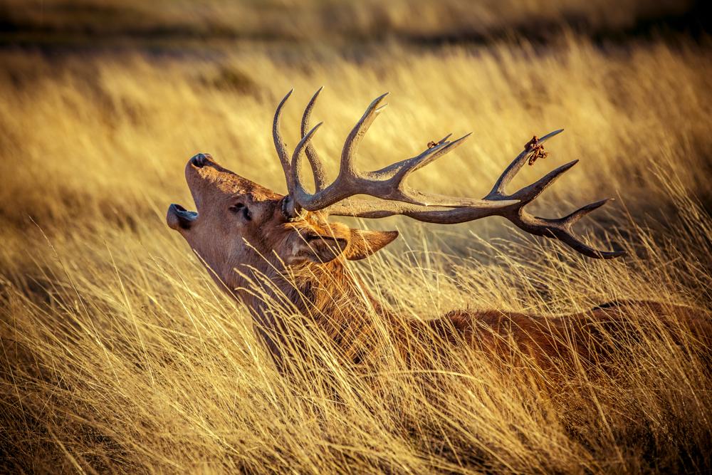 Golden Stag in Bushy Park by Cristina Schek (5).jpg