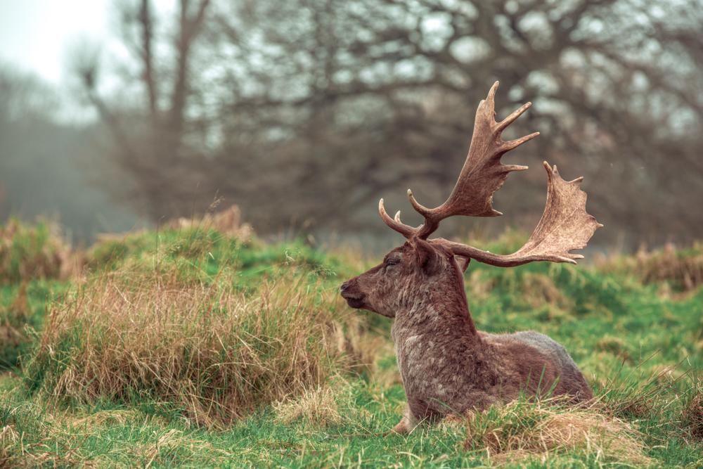 Autumnal Deer in Bushy Park by Cristina Schek (2).jpg