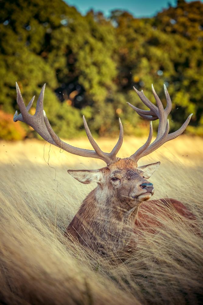 Golden Stag in Bushy Park by Cristina Schek (8).jpg