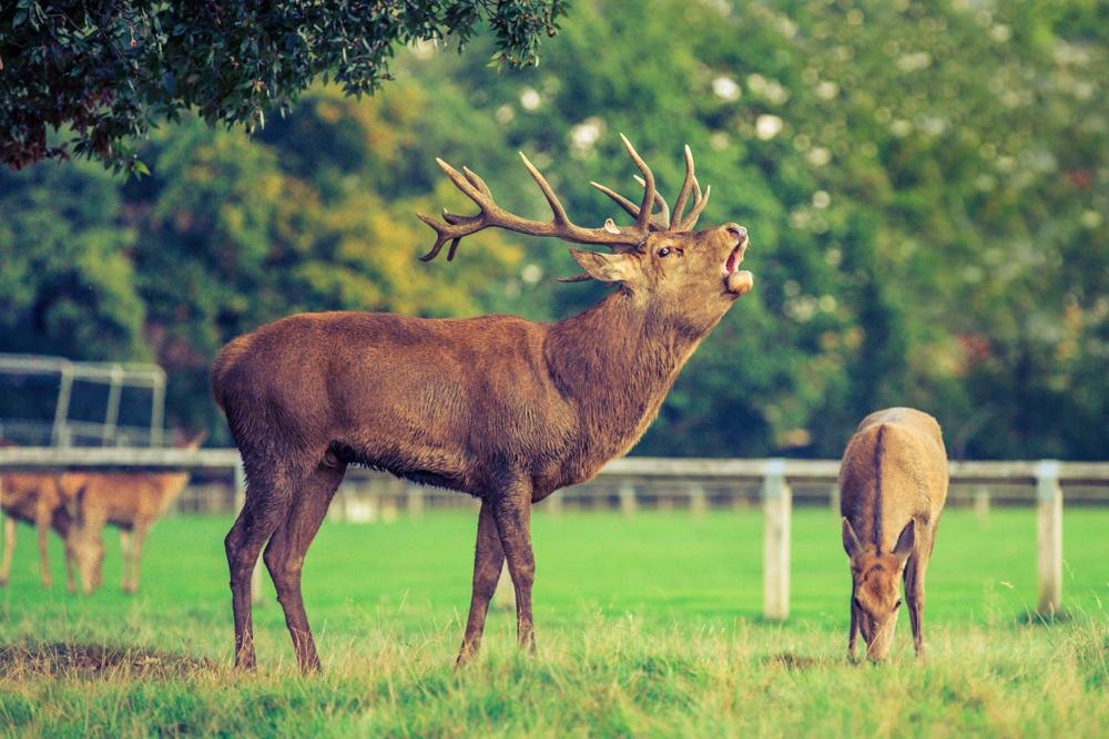 Golden Stag in Bushy Park by Cristina Schek (10).jpg