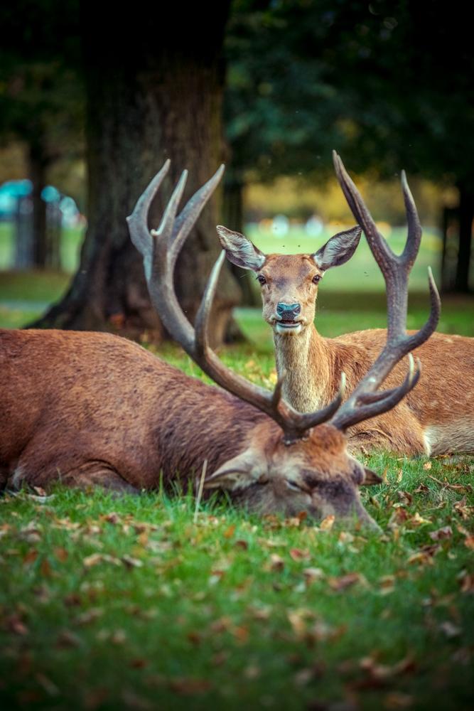 Golden Stag in Bushy Park by Cristina Schek (12).jpg