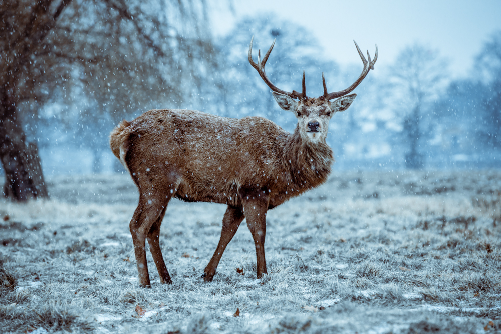 Winter Deer in Bushy Park by Cristina Schek (2).jpg