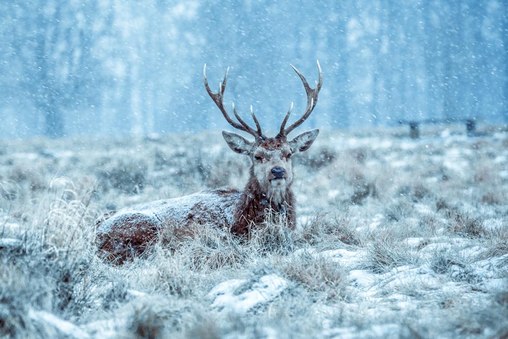 Winter Deer in Bushy Park by Cristina Schek (4).jpg
