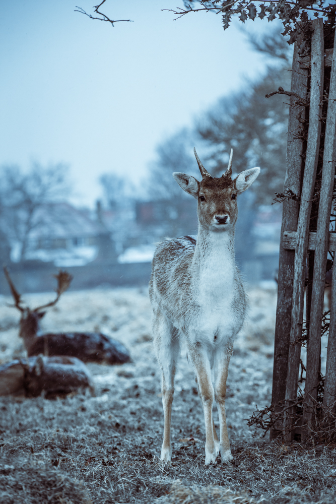 Winter Deer in Bushy Park by Cristina Schek (6).jpg