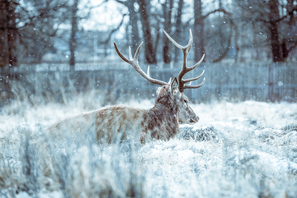 Winter Deer in Bushy Park by Cristina Schek (b) (2).jpg