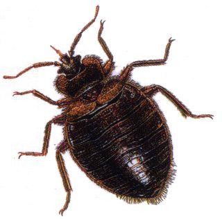 Bed-bugs1.jpg