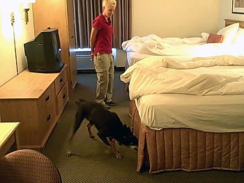 Dog sniffing for bedbugs in a hotel room