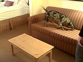 Dog sniffing for bedbugs on a couch