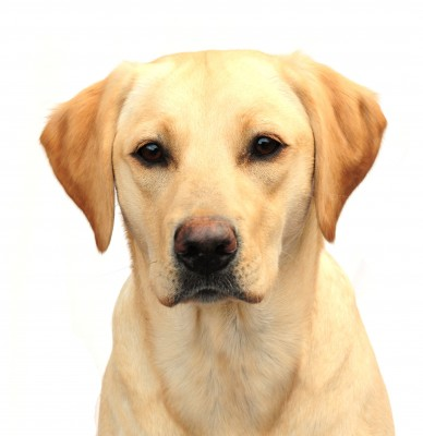 Yellow lab bed bug detection dog