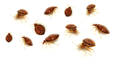 adult bed bugs in need of a bed bug exterminator