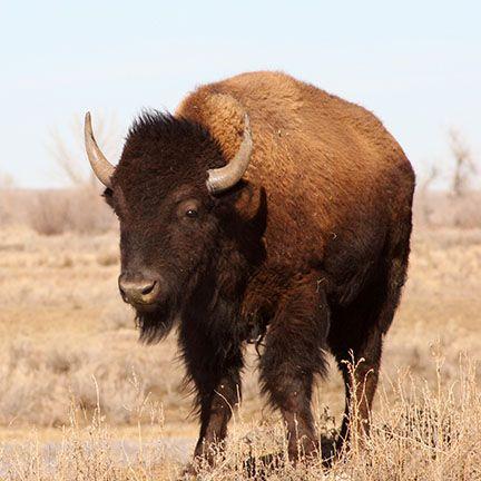 1515533536_bison_auction_image_5_432x43280.jpg