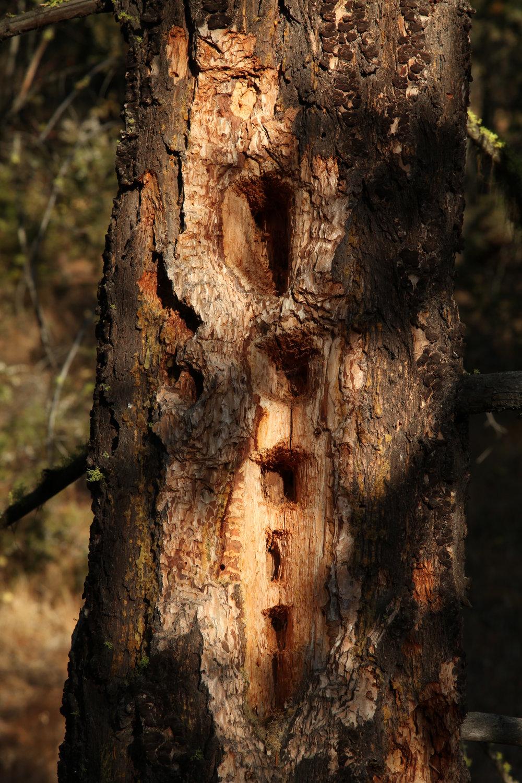 pileated-woodpecker_6299406438_o.jpg