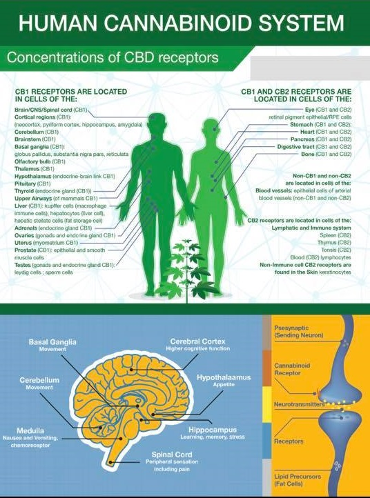 Endocannabinoid System - The endocannabinoid system is a system of physiology that aids the body in maintaining homeostasis from birth. Every mammal has an Endocannabinoid system and it promotes general well-being.The human body produces its own cannabinoids, such as 2-Arachidonoyl(2-AG) and Anandamide(AEA), and when they are produced within the body they are termed endocannabinoids.The endocannabinoid system is the network of receptors that interact with cannabinoids; CB1 receptors are found primarily in the brain, and CB2 is located throughout the immune system.The human body, naturally producing cannabinoids, has endocannabinoid receptors — CB1 and CB2.CB1 receptors are mainly found in the brain and are responsible for dealing with pain, movement coordination, cognitive abilities (thinking, memory), appetite and emotions. CB1 is actually the most numerous receptor expressed in the human brain.CB2 receptors are more commonly found in the immune system and have an effect on pain and inflammation. The CB2 receptor is primarily localized in the peripheral aspect of the body (i.e. GI tract, tonsils, spleen, immune cells).Both receptors serve major roles in homeostasis and biofeedback mechanisms.When CBD enters the body, it stimulates the body to create more of its own endocannabinoids, producing the beneficial effects seen in so many people.
