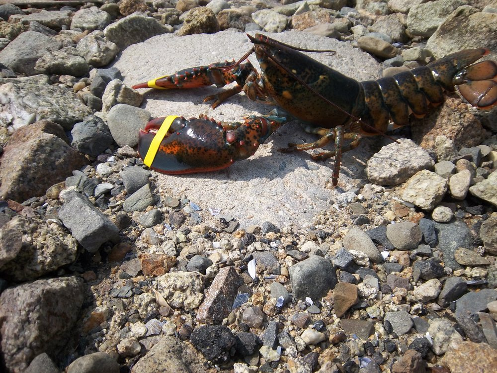 Lobster 4.JPG