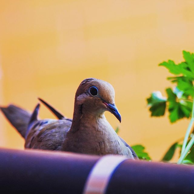 This is the look I get every time I go outside now. I'm feeling really judged. #mourningdove