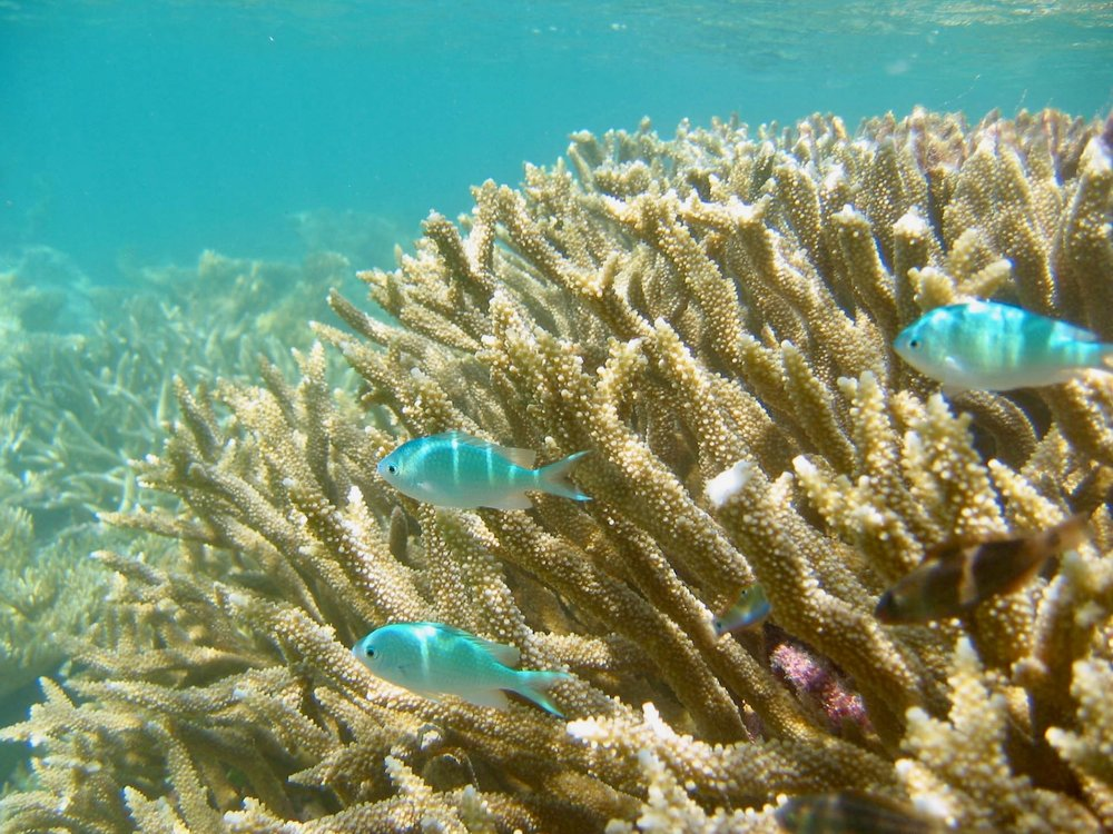 Damselfish.jpg