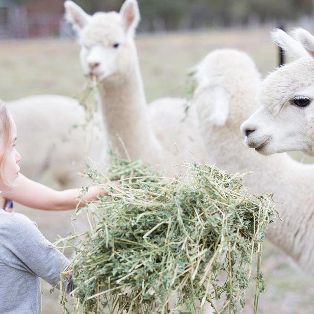 GlenHope's Bnb & Farmstay Alpaca's enjoying their morning treat! For bookings www.ruralstay.com  #ruralstay #newenglandhighcountry #bnb  #farmstay #alpacas #newenglandbnbfarmstay #newenglandregion #armidale #uralla #gleninnes  #walcha #tenterfield #guyra