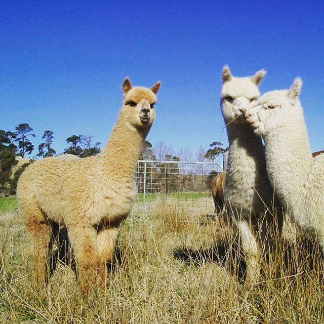 Cute young alpacas enjoying being photographed. For bookings & enquires www.ruralstay.com  #ruralstay #farmstay #newenglandhighcountry #armidaleaccommodation #armidale #walcha #tenterfield #guyra #gleninnes #uralla