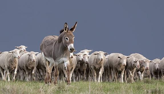 Burro (Equus) y borregos