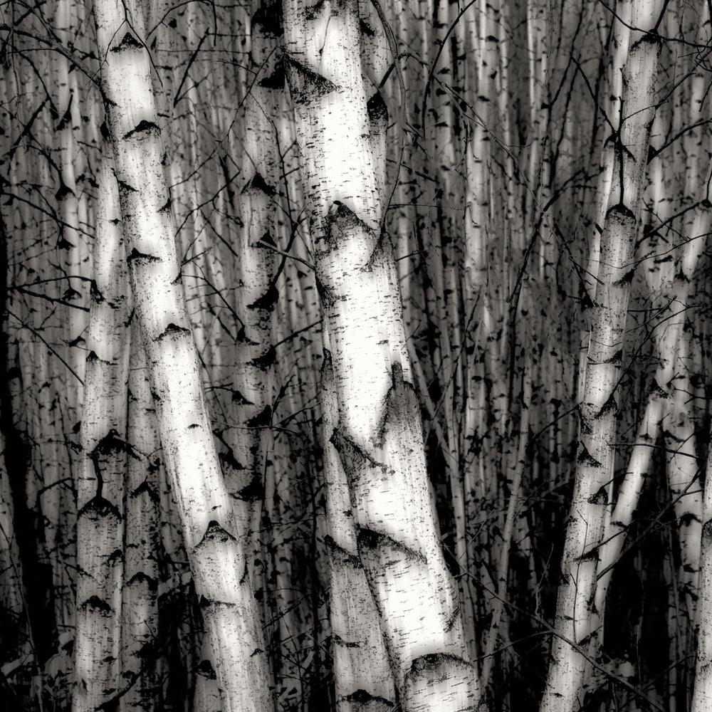 Simply Birch