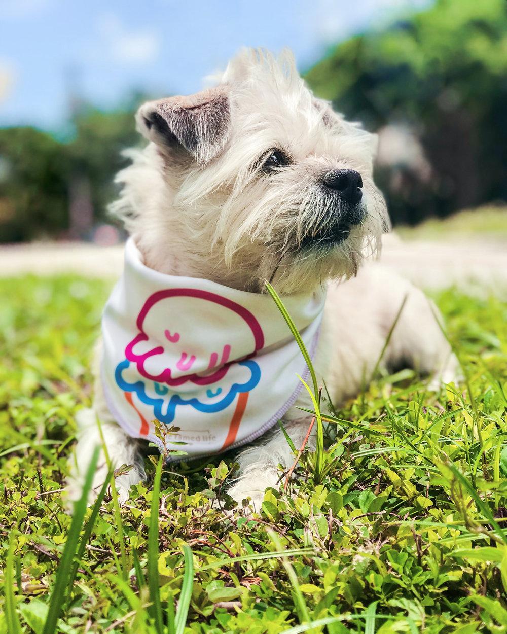 S U K I [ Border Terrier / 13lb ]  S I Z E - M    @SukiTheTerrier
