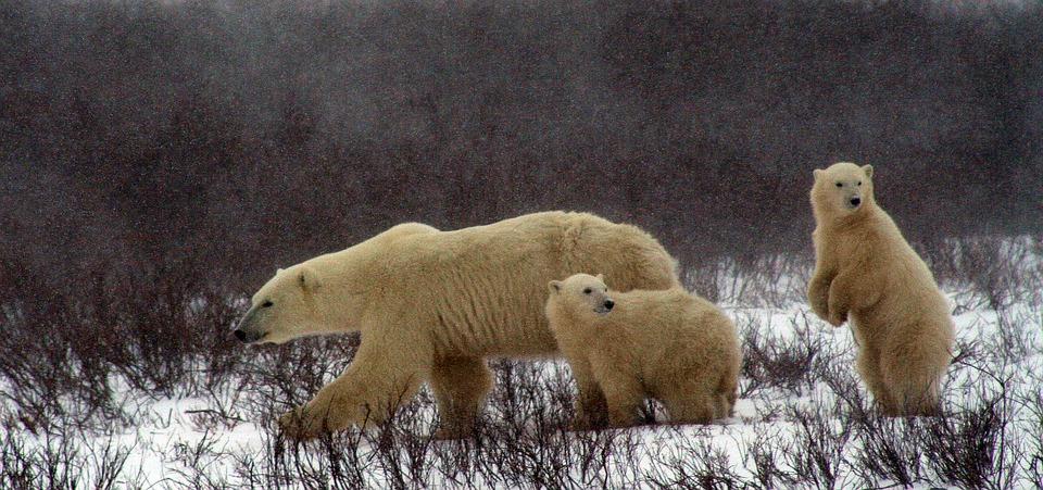 polar-bear-and-cubs-2821902_960_720.jpg